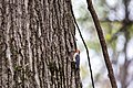 Red-bellied woodpecker (32875406493).jpg