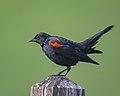 Red-winged Blackbird (39270519705).jpg