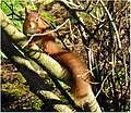 Red Squirrel in Dundee (16296929350).jpg