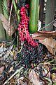 Red and black palmnuts (27309750241).jpg