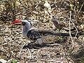 Red billed hornbill Tockus erythrorhynchus in Tanzania 3653 Nevit.jpg