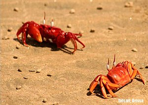 Jaleswar - Red crabs on Talsari beach, Odisha.