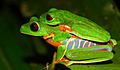 Red eyed tree frog amplexant pair.jpg