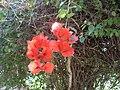 Red flower in Chiapas.JPG