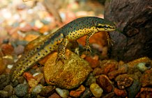 Green newt with red spots under water