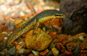 Eastern newt - Aquatic adult male