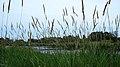Reed Canary Grass (Phalaris arundinacea) - Thunder Bay, Ontario.jpg