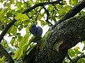 Reife Zwetschgen am Baum.JPG