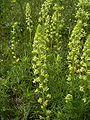 ResedaLutea-plant-kl.jpg