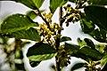 Rhamnus alpina. Crêt des Roches.jpg