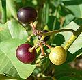 Rhamnus betulifolia var obovata 7.jpg