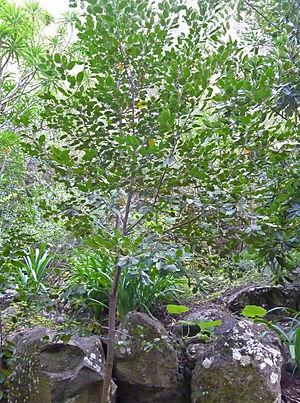 Rhamnus glandulosa - Image: Rhamnus glandulosa
