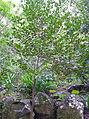 Rhamnus glandulosa.jpg
