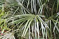 Rhapidophyllum hystrix 15zz.jpg