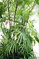 Rhapis multifida - Conservatory of Flowers - San Francisco, CA - DSC03110.JPG