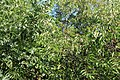Rhede - Emsaltarm Borsum + Prunus serotina 01 ies.jpg