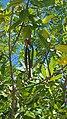 Rhizophora mangle (Savaneta, Aruba) 4.jpg