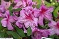 Rhododendron Bonanza 1zz.jpg