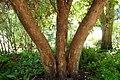 Rhododendron arboreum kz01.jpg