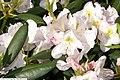 Rhododendron catawbiense Album 1zz.jpg