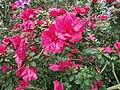 Rhododendron cv. Kiev Grishko 09.jpg