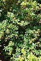 Rhododendron luteum - VanDusen Botanical Garden - Vancouver, BC - DSC06857.jpg