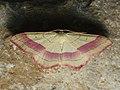 Rhodostrophia vibicaria - Common pink-barred - Пяденица краснополосая (40932276022).jpg