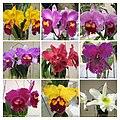Rhyncholaeliocattleya (Brassolaeliocattleya) cultivars 1 -香港沙田蘭花展 Shatin Orchid Show, Hong Kong- (24535417604).jpg