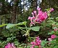 Ribes sanguineum1PFLY.jpg