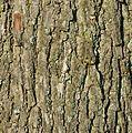 Rinde einer alten Eiche auf dem Friedhof Itzehoe NIK 4745.JPG