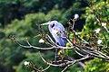 Rio Dulce excursion-Great Blue Heron (resting) (6995991401).jpg
