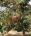 Ripe Durian Tree in Samosir Island 02.JPG