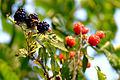 Ripe blackberries in foreground.jpg