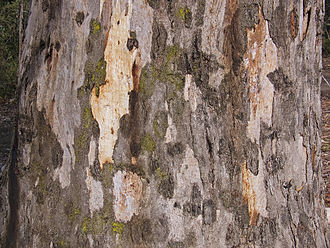 Eucalyptus camaldulensis - Trunk and bark detail