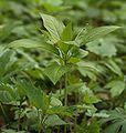 Roślina zielna 00pl.jpg
