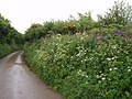 Roadside in May - geograph.org.uk - 174600.jpg