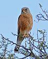Rock Kestrel (Falco rupicolus), Mountain Zebra NP, South Africa.jpg