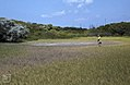 Rod Attrill - Sporobolus. Clapper rail pond (38869985331).jpg