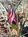 Romulea monadelpha Hantham 05.jpg