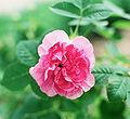 Rosa 'Empress Josephine'.jpg