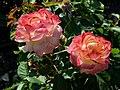 """Rosa """"Flaming Star"""" o KORtaltal. 01.jpg"""