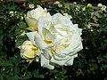 Rosa Chopin 2019-07-11 2814.jpg