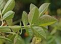 Rosa rubiginosa leaf (02).jpg