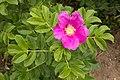 Rosa rugosa 13.jpg