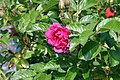 Rosa rugosa F. J. Grootendorst 5zz.jpg