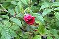 Rosa rugosa F. J. Grootendorst 9zz.jpg
