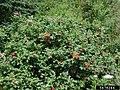 Rosa rugosa plant (103).jpg