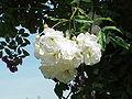 Rosa sp.184.jpg