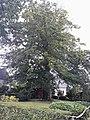 Rotbuche in der Gronauer Waldsiedlung.jpg