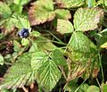 Rubus caesius IMG 8179 Forêt Domaniale de Verdun.JPG